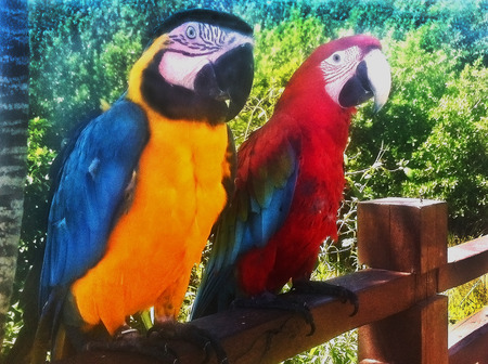 macaws cacatua macaws