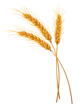 Three isolated spikelets of wheat. Vector illustration.