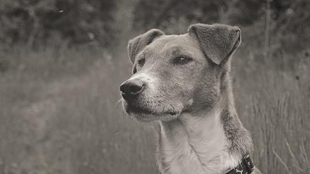 fox terrier puppy: Fox Terrier