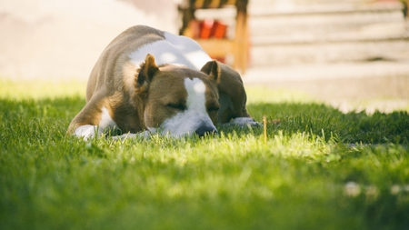 pooches: Staffordshire Terrier Stock Photo