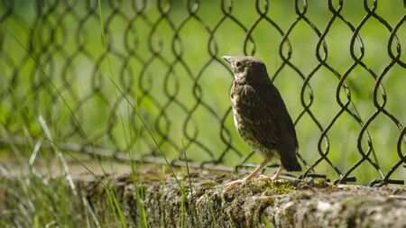 blackbird by the fence