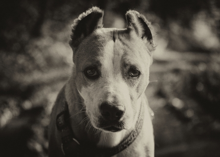 pooches: Serious Staffordshire