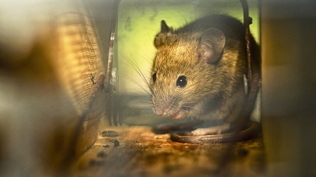trapped: Little mouse trapped Stock Photo