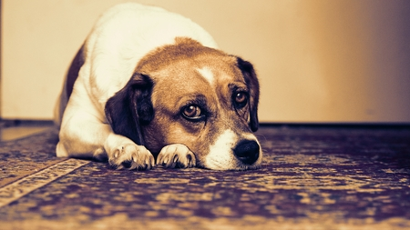 pooches: Relaxed dog Stock Photo