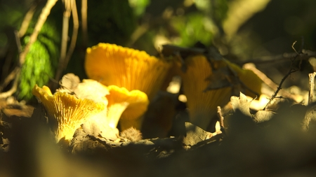 chanterelle in nature Stock Photo
