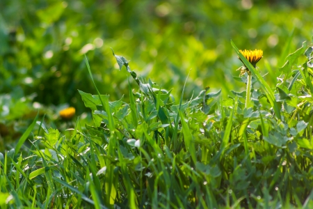 green grass row with water drops and dandelions Stock Photo - 18284993