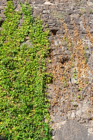 old stone wall covered with green leaves photo