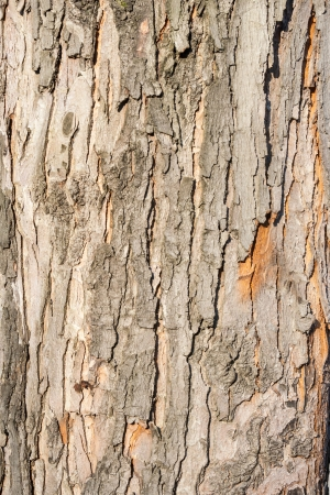 the dried bark of an old tree in the spring