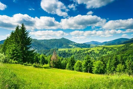 green meadow with fir trees in the mountainous area photo