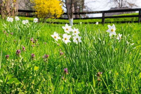 bush of white flowers of wild narcissus in green grass Stock Photo