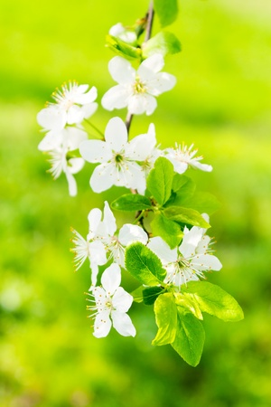 twig with flowers of apple tree on a blurred background of green grass