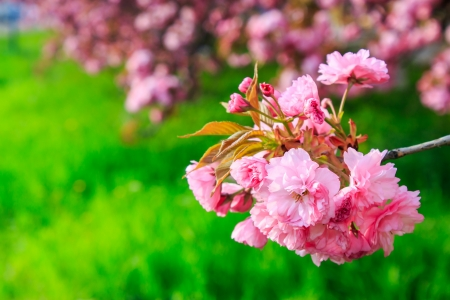 pink flowers blossomed above fresh green grass this spring on the branches of Japanese sakura photo