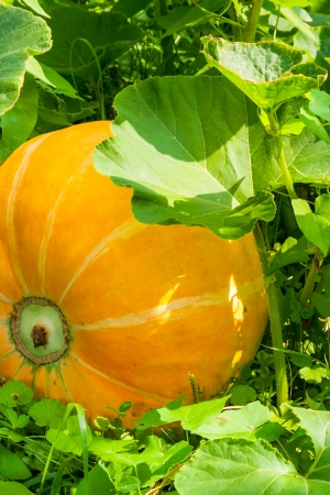 big juicy yellow pumpkin in the green grass