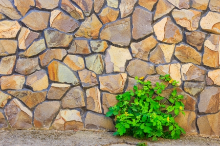 celandine plant on the background of uneven yellow stone wall Stock Photo