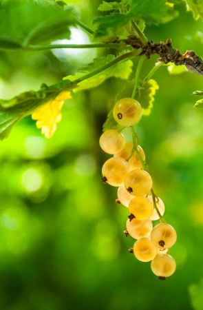 fresh young sprout of white currant on a green background of blurred foliage Stock Photo