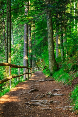 narrow mountain path in a coniferous forest. small wooden fence near the slope of the path. tree roots have sprouted across the footpath.