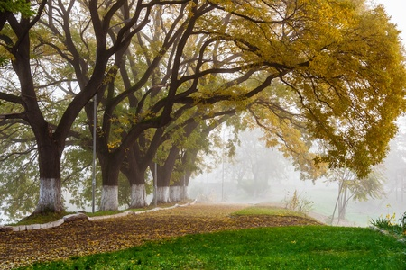 Autumn alley with trees in the fog photo