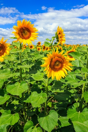 young field of sunflowers under the blue sky vertical Stock Photo