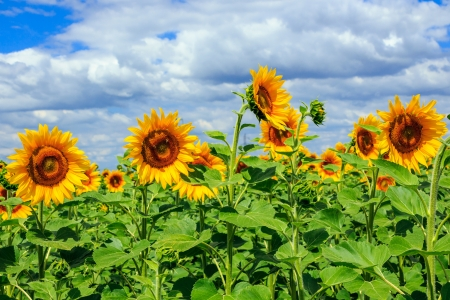 young field of sunflowers under the blue sky horizontal