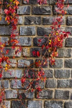 Old stone wall neatly laid with red foliage winds with dark blue berries