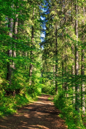 trail near the tall trees in the dense coniferous forest early in the morning