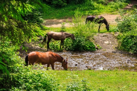 three horses came on a watering near the creek in the forest hot summer day. horizontal