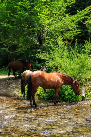 three horses came on a watering near the creek in the forest hot summer day.vertical