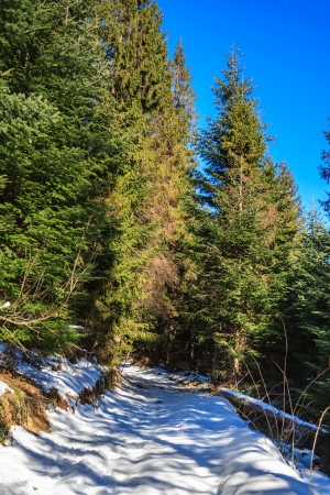 snow-covered pathway going up to the coniferous forest on sunny winter day