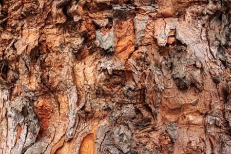 Orange texture of old tree bark