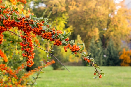 Orange branch of mountain ash on of grass and autumn park