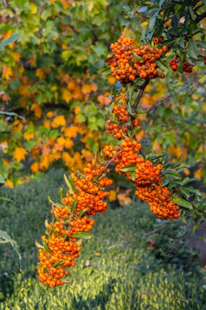 Orange branch of mountain ash on  grass and autumn leaves