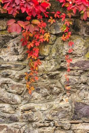 climbing plant with red leaves in autumn on the old stone wall Stok Fotoğraf