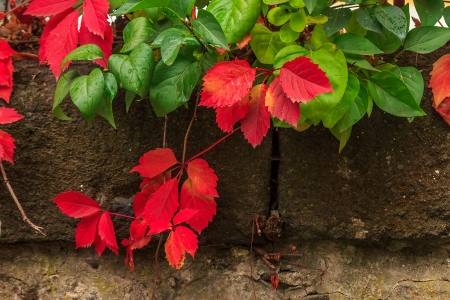 climbing plant with red and green leaves in autumn on the old stone wall