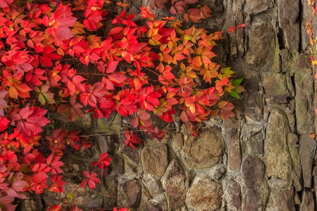 climbing plant with red leaves and blue berries in autumn on the old stone wall Stock Photo