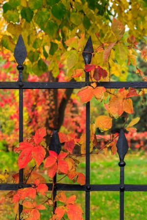 red foliage with blue berries on a metal fence photo