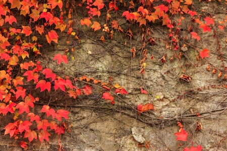 climbing plant with red leaves on a stone wall