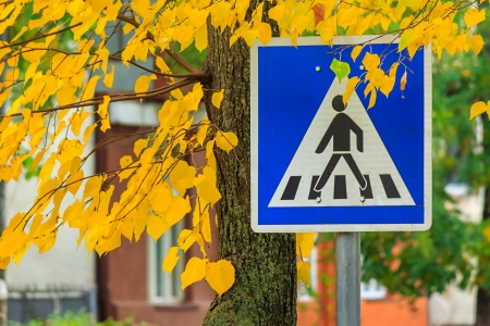 element of the urban landscape. road sign - crosswalk in the yellow leaves of a nearby tree