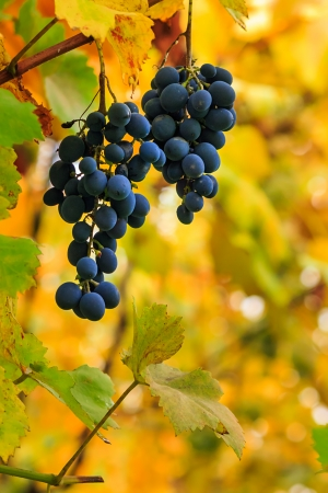 two fine sweet grapes on a soft background of yellow foliage Stock Photo