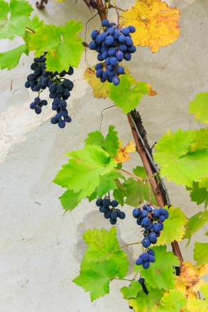 fine sweet grapes on the vine among the leaves on the grey wall  background
