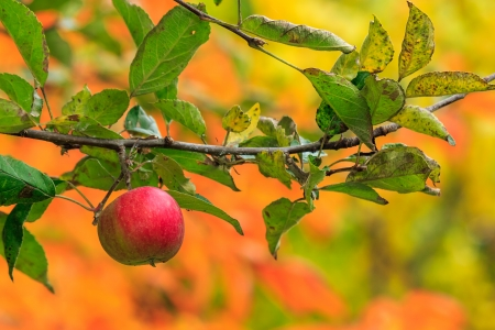 red ripe apple hanging on a branch on a autumn leaves background