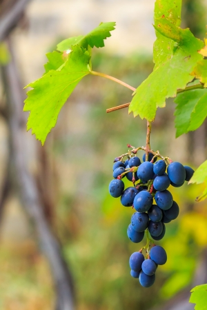 bunch of blue grapes with green leaves hanging on a vine in the vineyard abstract blurred background