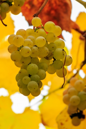 yellow bunches of grapes hanging on the vine on abstract blurred background of grape leaves