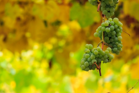 bunch of white grapes hanging on a vine in the vineyard abstract blurred background Stock Photo