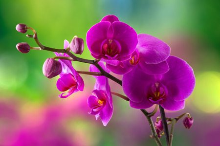 purple orchid flower close up on blurred green vagenta bokeh background