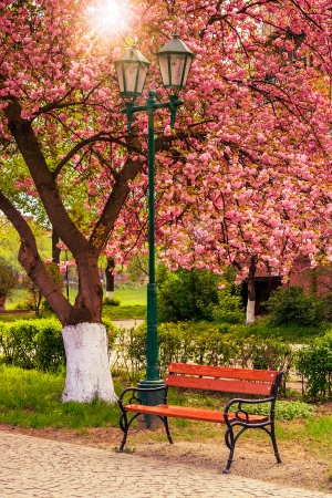 delicate pink flowers blossomed Japanese cherry treesin park near the bench and lantern