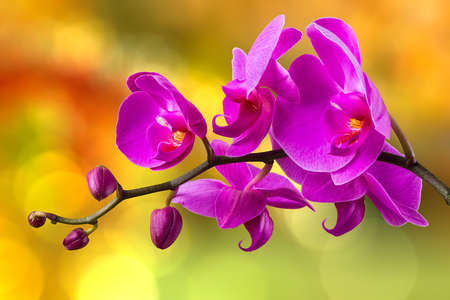 purple orchid flower close up on blurred yellowbackground Stock Photo