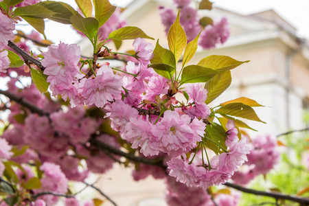 delicate pink flowers blossomed Japanese cherry trees on blurry