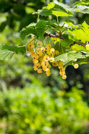 juicy fruit white currants on a hot summer day hanging on the branches Stock Photo