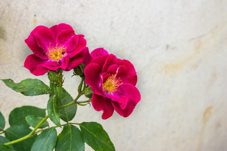 large red flowers wild rose on blurred background of gray wall Stock Photo