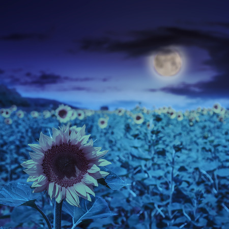 big yellow sunflower head in a field on a background of blue sky at night in moon light photo